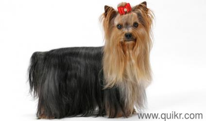 For Adoption Beautiful Yorkshire Terrier 3 Months Old Vaccinated In