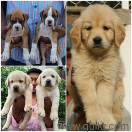 For Adoption Husky Labrador Beagle German Shepherd Shihtzu Golden