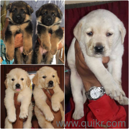 For Adoption Husky Labrador Beagle German Shepherd Shihtzu Golden