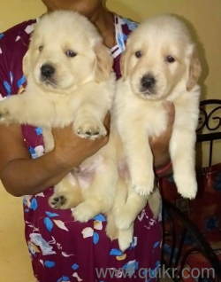 For Adoption Champion Line Golden Retriever Puppies In Pune Quikr