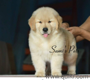 For Adoption Show Promising Golden Retriever Puppies In Pune Quikr