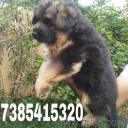 For Adoption German Shepherd Labrodoar Begal Rottweiler Lhasa