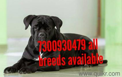 For Adoption Awesome Cane Corso Puppies Puppy For Adoption