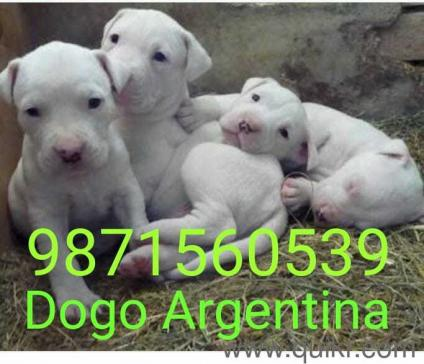 for adoption call 987156o539 dogo argentino puppies we have