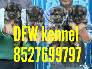 for adoption dfw kennel all types of dogs puppies and