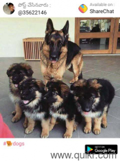 for adoption german shepherd 9908245714 pug puppies golden retriever