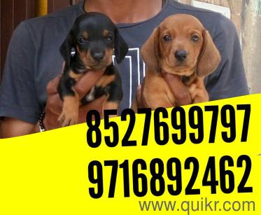 for adoption dfw pet shop and kennel  labra german shepherd