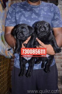 Dog For Sale In Olx In Vadodara