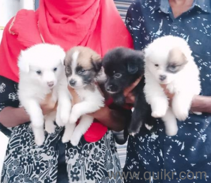 Miniature pomeranian puppies for sale in Chennai