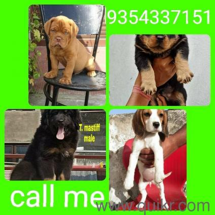 Orignal Pug Dog Price In Raipur