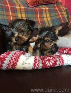for adoption adorable tae cup yorkie puppies for adoption