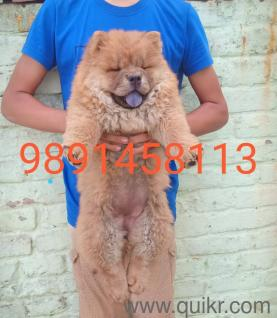 for adoption 9711384422 call me chow chow beagle husky st