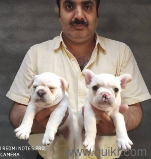Dog for sale in olx in Gandhidham