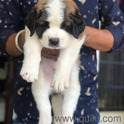 St bernard puppies for sale in Katni