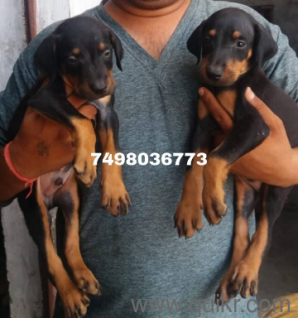 Dalmatian puppies for sale in Pune