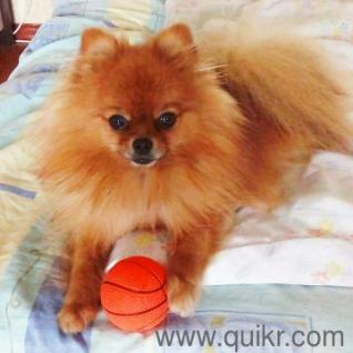 Kombai dog adoption in Chennai