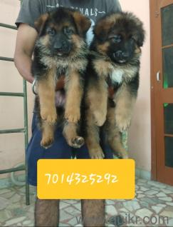 Dog for sale in olx in Udaipur