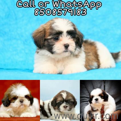 Maltese puppies sale in Chennai