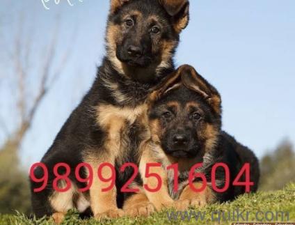 German Shepherd Dog Price In Pakistan Olx