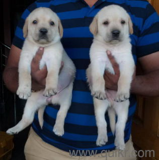 Pure american pitbull terrier puppies male in Bangalore