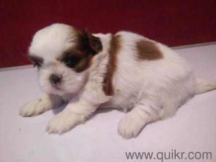 Lhasa apso puppies in Jaipur