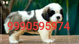 for adoption lovely french puppies | Quikr