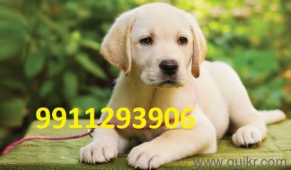 Puppies For Sale In Pakistan #02244 (80) - Vaccination