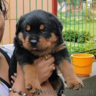 Olx Dogs For Sale In Coimbatore