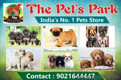 Labrador Puppies For 5000 In Rajkot
