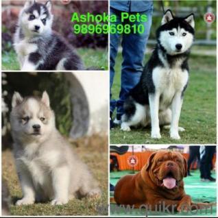 Dog For Sale In Olx In Shimla