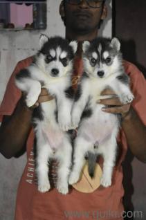 Free Adoption Siberian Husky In Pune