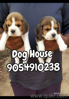 German Shepherd Puppies For Sale In Indore In Less Price In Indore
