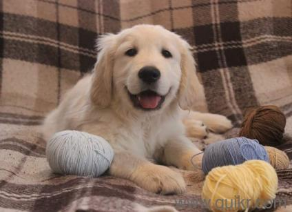 Good Golden Retriever Chubby Adorable Dog - CUTE-FACE-GOLDEN-RETRIEVER-CHUBBY-QUALITY-Puppies-available-for-sale-9841242324-VB201705171774173-ak_LWBP1845633026-1521005635  Image_898298  .jpeg