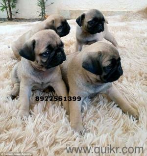 top quality pug puppies are available for sale