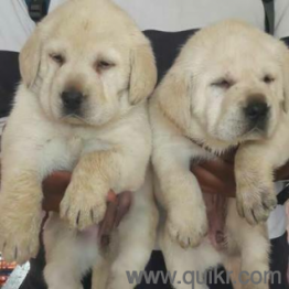7989459666 Ready Stock All Types Of Dogs for sale with Quality Grantee Hyderabad ~ PETS HOUSE
