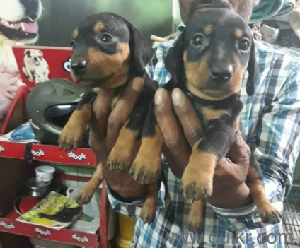 Dashund puppies available at best price in hyderabad