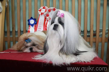For Adoption Shih Tzu Puppies With Kci Paper Show Quality Line In