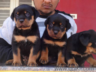 For Adoption Show Quality Rottweiler Labrador Golden Retriever