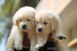 For Adoption All Kinds Of Puppies Are For Adoption 7702827220 Quikr