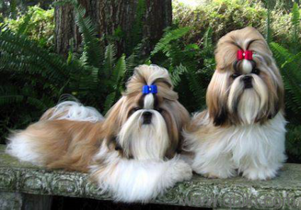 For Adoption Beauty Full Shihtzu Puppies Are 9611154078 Quikr