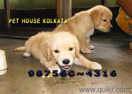 For Adoption 9875604316 Top Golden Retriever Dogs At Kolkata Quikr