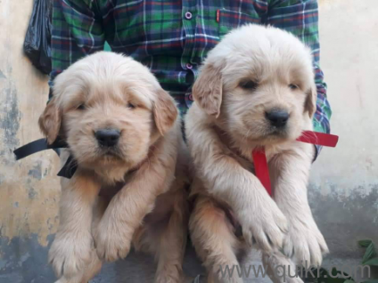 For Adoption Golden Retriever Puppies In Pune Quikr