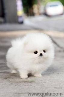 For Adoption Teacup Pomeranian Puppies Quikr