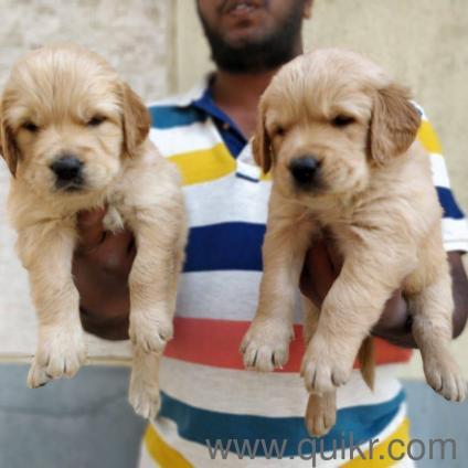 For Adoption Golden Retriever Female Puppies Quikr