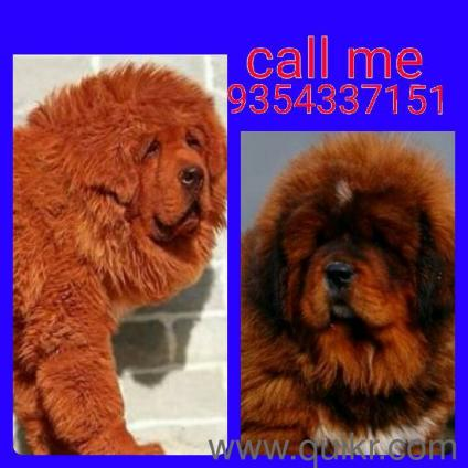 Tibetan Mastiff Dogs In Jaipur