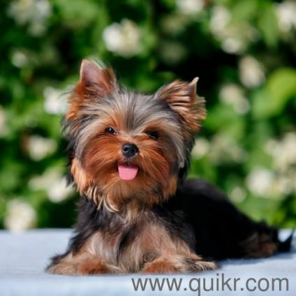 for adoption yorkie terrier show quality puppies adoption 96