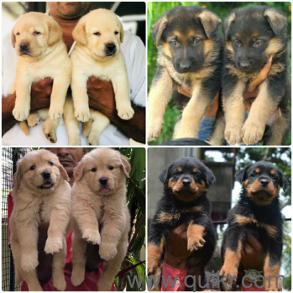 For Adoption Labrador Beagle German Shepherd Shihtzu Golden
