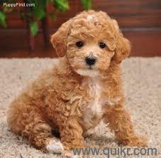for adoption 9540809687 all high breed husky pomeranian
