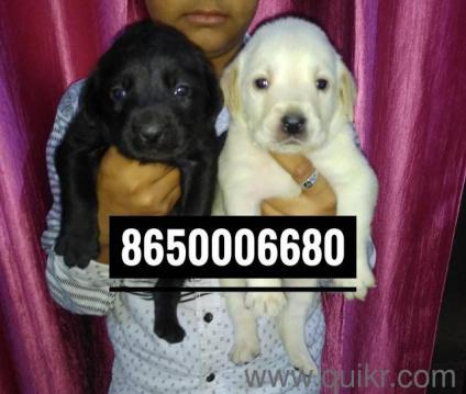 German Shepherd Dog Price In Pakistan Olx