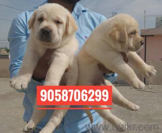 Boxer Dog Price In India In Rupees